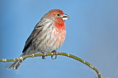 Male House Finch Stock Photography