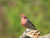 Male house finch. Bright red male house finch on branch Stock Images