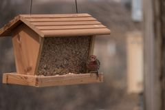 Red Breasted House Finch feeding in New Mexico. stock photo