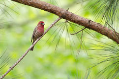 Male House Finch. Backyard Garden birding Athens Georgia Male House Finch Royalty Free Stock Photo
