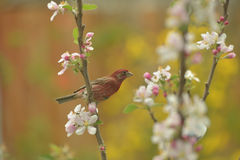 Male House Finch. Beautiful bird visit apple tree in spring time Stock Image