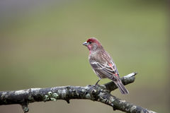 Male House Finch bird Royalty Free Stock Photos
