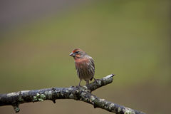 Male House Finch bird Stock Photo