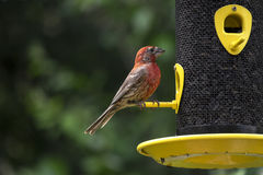 Male House Finch at a Bird Feeder #2 Royalty Free Stock Image
