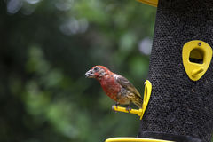 Male House Finch at a Bird Feeder #1 Stock Photography