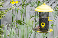 Male House Finch at a Bird Feeder #5 Stock Image