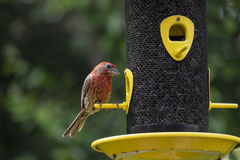 Male House Finch at a Bird Feeder #4 Stock Photography