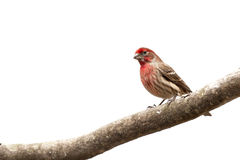 Male House Finch bird  on limb Royalty Free Stock Photos