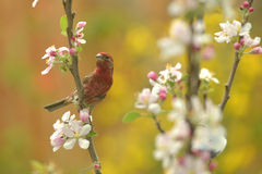 Male House Finch bird. The bird visit apple tree in spring time stock images