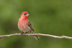 Male House Finch on Branch. A male House Finch on a branch Royalty Free Stock Image