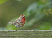 Male House Finch (Carpodacus mexicanus) Royalty Free Stock Photo