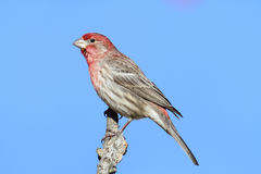 Male House Finch (Carpodacus mexicanus) Royalty Free Stock Photography