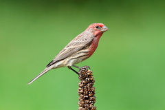 Male House Finch (Carpodacus mexicanus) Stock Photos