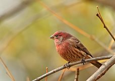 Male House Finch, Carpodacus mexicanus Stock Photos
