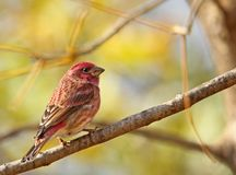 Male House Finch, Carpodacus mexicanus Stock Image