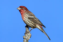 Male House Finch (Carpodacus mexicanus) Royalty Free Stock Photos