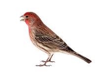 Male House Finch Isolated Stock Image