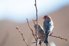 Male House Finch (Carpodacus mexicanus) Stock Images