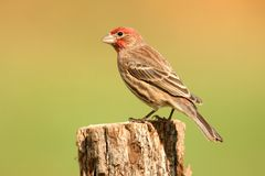 Male House Finch (Carpodacus mexicanus) Stock Photography