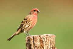 Male House Finch (Carpodacus mexicanus) Stock Image