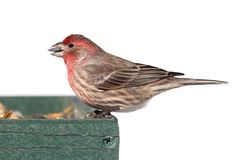 Male House Finch (Carpodacus mexicanus) Royalty Free Stock Images
