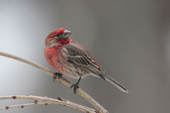 Male House Finch. A male house finch (Carpodacus mexicanus) perching on a winter branch Royalty Free Stock Photos