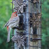 Male house finch Carpodacus mexicanus with red face and rump at bird feeder stock image
