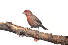 Male House Finch (Carpodacus mexicanus) on white Stock Photo