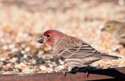 Male House Finch eating seeds Stock Photos