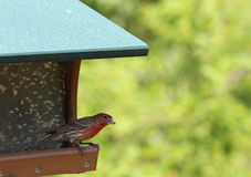 A Male House Finch eating a Sunflower seed from a Bird feeder Stock Image