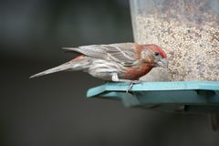Male house finch at feeder Royalty Free Stock Photos
