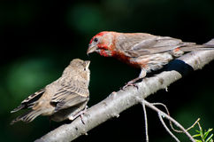 Male House Finch Feeding its Young Royalty Free Stock Photos