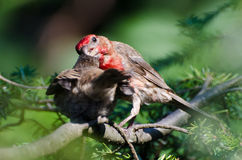 Male House Finch Feeding its Young Stock Photos