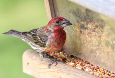 Male House Finch (Haemorhous mexicanus) Feeding Stock Image