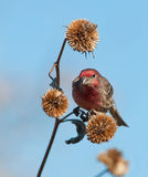 Male House Finch looking for seeds Royalty Free Stock Photo