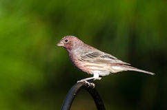 Male House Finch. Perched Male House Finch Athens Georgia Stock Images