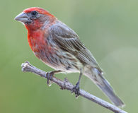 Male house finch perched on branch Stock Image