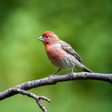 Male House Finch Stock Images