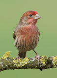 Male House Finch Royalty Free Stock Image