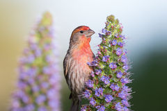 Male House Finch Royalty Free Stock Photos