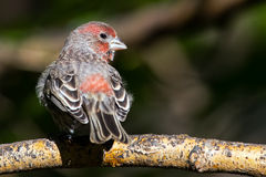 Male House Finch Stock Image