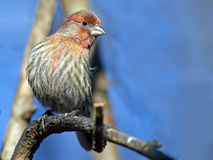 Male House Finch Royalty Free Stock Images