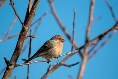 Male house finch perched on a tree branch Royalty Free Stock Photography