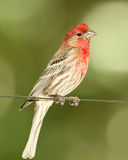 Male House Finch Perched on a Wire Royalty Free Stock Photo
