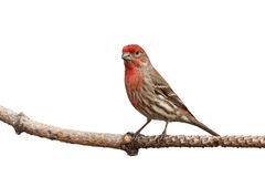 Male house finch proudly perched on a branch. White background royalty free stock image
