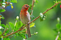 Male House Finch resting in a Hibiscus bush. Image shows a brightly colored male House Finch (Haemorhous mexicanus) resting in a Hibiscus bush. Found throughout royalty free stock image
