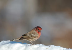 A male House Finch standing in the snow. A male house finch looks over his right shoulder while standing in snow Royalty Free Stock Photography