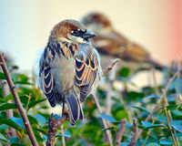 Male House Sparrow. Resting on Hedge Row royalty free stock photos