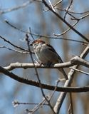 Male house sparrow Stock Photography