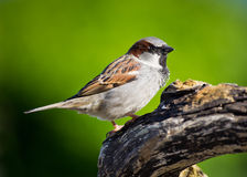 Male House Sparrow. Close-up of a Male House Sparrow on a tree branch Royalty Free Stock Photography